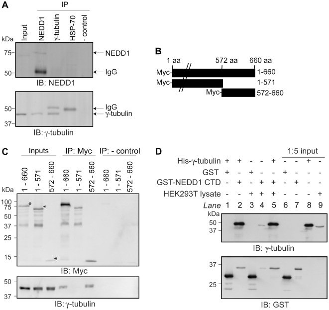 NEDD1 residues 572–660 interacts with γ-tubulin directly. (A) The interaction of endogenous NEDD1 and γ-tubulin was assessed in HEK293T cells. Due to its low level of expression, NEDD1 is not detectable in the inputs (1/20 lysates loaded), however γ-tubulin is present (first lane). Both NEDD1 and γ-tubulin are detected in lysates immunoprecipitated with NEDD1 antibody (second lane). NEDD1 is not detected when γ-tubulin is immunoprecipitated (third lane). Additional bands are IgG. In negative controls, γ-tubulin and NEDD1 are not detected when an unrelated antibody (HSP70) (fourth lane) or no antibody (fifth lane) was used for the immunoprecipitation. (B) Full length NEDD1 (660 aa), or two truncation constructs (1–571 and 572–660) were fused to a Myc-tag at their N-terminus. (C) The interaction of full length and truncated forms of Myc-NEDD1 with endogenous γ-tubulin was assessed in HEK293Ts. Expression is confirmed in the inputs (1/20 lysates loaded). γ-tubulin is immunoprecipitated with full length (660 aa) NEDD1, and 572–660 NEDD1, but not 1–571, using a Myc antibody. * represent the correct size for each construct. When no antibody is added (negative controls), no γ-tubulin is immunoprecipitated. (D) The interaction of NEDD1 CTD (residues 572–660) and γ-tubulin was assessed in vitro . Recombinant GST or GST-NEDD1 CTD bound to glutathione sepharose beads were incubated with His-γ-tubulin, with or without HEK293T lysate. Inputs (1/5 lysates loaded) are shown in lanes 6–8. Endogenous γ-tubulin is expressed in the lysate (lane 9). After incubation with the beads and removal of unbound proteins, γ-tubulin is not bound to GST alone (lane 1), but is bound to GST-NEDD1 CTD both in the absence and presence of lysate (lanes 2 and 5 respectively). Endogenous γ-tubulin in the lysate does not to bind to GST alone (lane 3), but does bind to GST-NEDD1 CTD (lane 4).