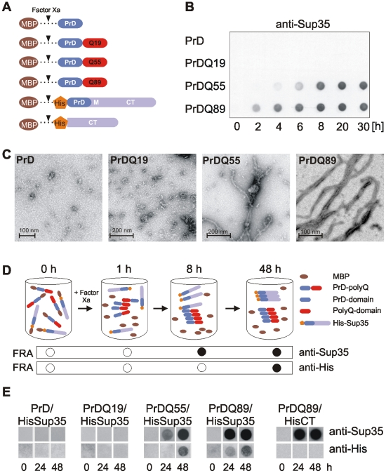 PrD-polyQ fusion proteins form seeding-competent amyloid structures in vitro . (A) Schematic representation of MBP fusion proteins with polyQ tracts of different lengths. (B) Time-resolved analysis of polyQ-mediated aggregation of PrD fusions by FRA. SDS-resistant protein aggregates retained on filter membranes were detected using an anti-Sup35 antibody. (C) Electron micrographs of polyQ-containing PrD protein aggregates. MBP fusions were digested with factor Xa without agitation at 37°C for 24h, stained with 1% uranyl acetate and visualised using a Philips <t>CM100</t> transmission electron microscope. (D) Schematic description of an in vitro seeding assay. The formation of seeding-competent polyQ-containing PrD protein aggregates after cleavage of MBP fusion proteins with factor Xa and the subsequent conversion of HisSup35 protein from the soluble to the amyloidogenic state is shown. SDS-stable protein aggregates were monitored by FRA using specific antibodies. (E) Analysis of HisSup35 aggregate formation by FRA. MBP-PrD-polyQ fusion proteins together with MBP-HisSup35 or MBP-HisCT were incubated with factor Xa at 37°C for 24 and 48 h. Aggregates retained on filter membranes were detected using anti-His and anti-Sup35 antibodies.