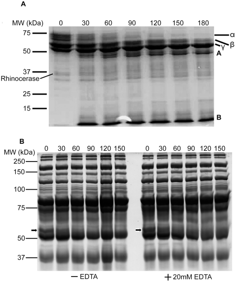 Fibrinogenolytic activity of rhinocerase. Coomassie brilliant blue stained SDS-PAGE gels containing samples taken at different time intervals during the incubation of 100 µg of rhinocerase with 400 µl (5 mg/ml) of plasminogen-free fibrinogen in 0.05M Tris-HCl; 0.1M NaCl, pH 7.8 or 400 µl of human plasma in the presence and absence of 20 mM EDTA. The numbers at the top of each lane represent the time (in minutes) when samples were taken during the digestion. A . The degradation profile of plasminogen-free fibrinogen by rhinocerase. α, β and γ represent the three chains of fibrinogen and A and B represent the degradation products. The position of rhinocerase has been labelled on the image. B . The degradation profile of fibrinogen present in human plasma after removal of albumin and IgG by Proteoprep immunoaffinity albumin and IgG depletion columns. The position of the α chain of fibrinogen is marked with an arrow. Data are representative of three separate experiments.