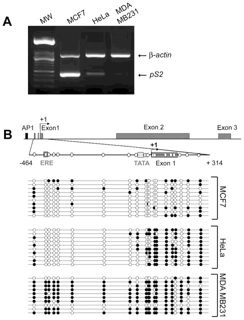 pS2 gene expression and DNA methylation patterns in MCF7, HeLa and MDA MB231 cells. ( A ) The expression of endogenous pS2 gene in MCF7, HeLa and MDA MB231 cell lines. pS2 mRNA levels were monitored by relative RT-PCR. Briefly, pS2 transcripts were simultaneously amplified with β-actin transcripts as a loading control and expression standard. ( B ) Methylation patterns at CpG sites of pS2 5′ flanking sequence from nt positions −464 to +314 in MCF7, HeLa, and MDA MB231 cell lines. A schematic representation of the human pS2 gene is shown. The transcription start site is indicated by a black arrow. Black box, AP1 site; dark-grey box, Estrogen-Responsive Element (ERE); light-grey box, TATA-box; hatched boxes, pS2 exons. The studied region (from nt positions −464 to +314) is presented on an expanded scale. This region contains 20 CpG sites, represented by white circles. The bisulphite-sequencing status of this 5′ pS2 region in MCF7, HeLa and MDA MB231 cells (number of analyzed clones, n = 10) is represented. Each line corresponds to a single DNA template molecule. Black and open circles represent methylated and unmethylated CpGs, respectively.