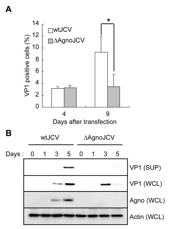 Agnoprotein facilitates virion release and enhances viral propagation. (A) The agnoprotein deletion mutant virus (ΔAgnoJCV) fails to promote viral propagation. Viral growth was monitored by indirect immunofluorescence of VP1. Results shown in the graph were created by determining the average proportion of VP1-positive cells in 3 to 10 microscopy fields counted. Significance of changes were analyzed by student's t -test and indicated by an asterisk (*p