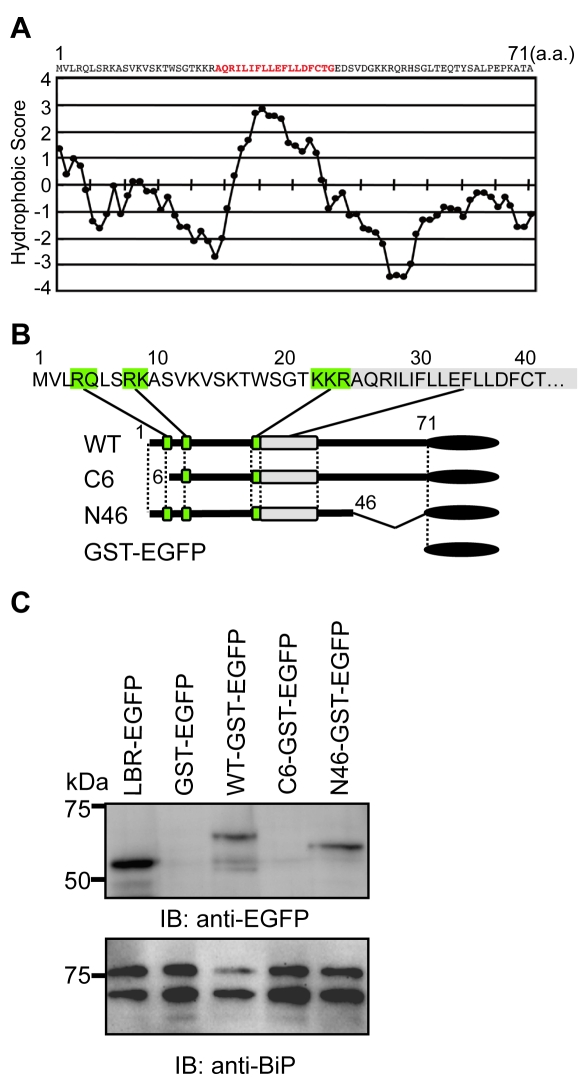 The N-terminus of agnoprotein is necessary for targeting to the ER. (A) Hydrophobicity plot of JCV agnoprotein. The plot was drawn using the Lyte-Doolittle method of calculating hydrophilicity over a window length of seven [54] . (B) The N-terminal region of agnoprotein is characterized by the presence of positively charged residues. Schematic representation of GST-EGFP fusion constructs of wild type (WT) agnoprotein and its various mutants. The green boxes indicate the basic amino acid clusters, which could be important for determining the orientation to the membrane. A gray box indicates a hydrophobic amino acid stretch. (C) Immunoblot analyses of GST-EGFP–fused agnoprotein and its mutants prepared from the ER-nuclear fraction of transfected HEK293 cells prepared by sucrose density centrifugation as described in the Materials and Methods . WT and N46 mutant were detected in the ER-rich fractions, whereas the C6 mutant and GST-EGFP were not.