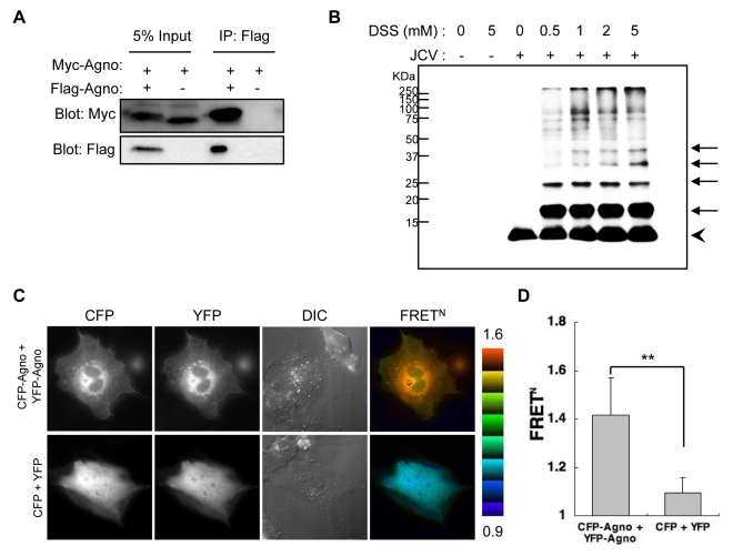 Agnoprotein forms homo-oligomers. (A) 293T cells were transfected with Myc-agnoprotein/Flag-agnoprotein or Myc-agnoprotein alone. Cell lysates were subjected to immunoprecipitation with antibodies to Flag (IP: Flag). (B) SVG-A cells uninfected or infected with JCV [JCV (−) or JCV (+), respectively] were reacted with DSS cross-linker at the indicated concentration (0, 0.5, 1, 2, or 5 mM). Triton X-100 soluble extracts were resolved by SDS-PAGE, and monomer (arrowhead) and oligomers (arrows) of agnoprotein were detected by immunoblot analysis using anti-agnoprotein antibody. (C and D) Intermolecular FRET in SVG-A cells expressing agnoprotein fused with CFP (CFP-Agno) or YFP (YFP-Agno). Pseudocolour images represent normalized values (FRET N ), with the intensity of each color indicating the mean intensity of FRET and the total spillover from the relevant FRET partners as indicated at the bottom of the photographs. The upper (1.6) and lower (0.9) limits of the ratio range are shown at the right. Numbers of samples: CFP + YFP, n = 53; CFP-Agno + YFP-Agno, n = 59 (**p