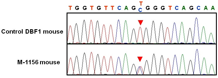 Sequence analysis of <t>Rom1</t> . The position of the point mutation is indicated by red arrowheads on sequence chromatograms from the Control DBF1 mouse (top) and the M-1156 mouse (bottom). A T→C single base substitution at position 1,195 of Rom1 ( M96760 , National Center for Biotechnology Information [NCBI]) was identified in the M-1156 mouse line.