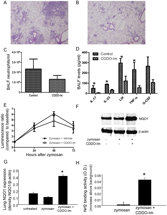 The triterpenoid, CDDO-Im, a Nrf2 inducer, reduces zymosan-induced lung inflammation and pro-inflammatory BALF cytokines in p47 phox−/− mice. CDDO-Im (0.2 mg/mouse by i.p. injection) or vehicle (control) was administered daily to p47 phox−/− mice from day −1 to +2 in relation to i.t. zymosan, and BALF and lungs were harvested on day +3. Representative H E stained lung sections of p47 phox−/− mice administered zymosan plus vehicle (A) or zymosan plus CDDO-Im (B). Neutrophil (C) and cytokine (D) concentrations were assessed in BALF obtained at day 3 after zymosan treatment. Significant differences were observed for neutrophils (p = 0.03), IL-23 (p = 0.008), IL-17 (p = 0.02), TNF-α (p = 0.02), and LIX (p = 0.03) (Mann-Whitney two-tailed test). E) Lung NF-κB activation, measured by bioluminescence, was similar in p47 phox−/− /HLL mice administered zymosan plus CDDO-Im versus zymosan plus vehicle (Two-way ANOVA, p = NS). F) Representative Western blot of lung homogenates for NQO1 and (G) densitometry (normalized to β-actin) (G) for 3 mice per genotype per treatment (p