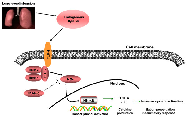 Proposed TLR/NF-κB signaling pathway activation in a non-infectious, high VT mechanical ventilation experimental model . Overdistension induced by high VT mechanical ventilation produces endogenous ligands that are able to activate TLR-4 receptors. Subsequent activation of downstream intracellular adapter proteins, enhanced by the down-regulation of IRAK3 expression, leads to the degradation of Iκβα and activation of NF-κB, which gives rise to the expression of pro-inflammatory cytokines. Abbreviations: TLR-4: Toll-like receptor-4; IRAK: Interleukin-1 receptor-associated kinase; IκBα: Inhibitory kappa B alpha; NF-κB: Nuclear factor kappa B; IL-6: Interleukin-6; TNF-α: Tumor necrosis factor-alpha. TRAF: Tumor necrosis factor receptor-associated factor; VT: tidal volume.