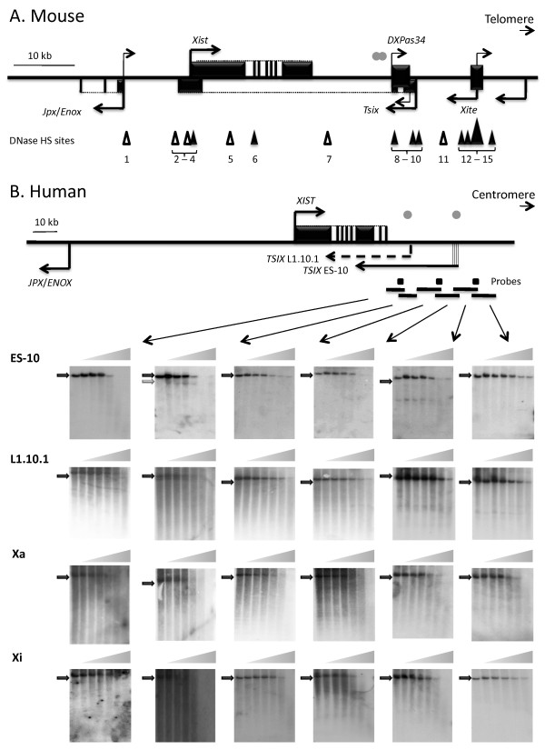 Mapping DNase I hypersensitive sites downstream of XIST . A schematic of the mouse (A) and human (B) Xist / XIST genes and surrounding regulatory elements shows exons (black boxes) for Xist / XIST and other genes in the region (arrows indicate the direction of transcription). Grey dots show the location of conserved blocks between mouse and human [ 15 ], and triangles mark DNase I hypersensitive (DHS) sites (filled triangles - sites in undifferentiated cells; empty triangles - sites in differentiated cells; HS1, HS5 - HS7 [ 40 ], HS2 - HS4 [ 46 , 47 ], HS8 - HS15 [ 55 ]). DNA from nuclei of ES-10, L1.10.1 and Xa and Xi-containing hybrids exposed to DNaseI was digested with restriction enzymes ( Sca I (10 kb); Sap I/ Blp I (10.2 kb); Nsi I (11.1 kb); Xmn I (9.3 kb); Nco I (11.1 kb) and Bam HI (6.4 kb)) for Southern analysis. All experiments were carried out at least twice and a representative Southern blot is shown for each fragment including a lane with no DNase I (parental fragment shown as black arrow) followed by six lanes of increasing amount of DNase I treatment. One HS site (grey arrow), was detected in the Sap I/ Blp I fragment of ES-10 cells, with a size of ~7 kb. No HS site was detected in the Xmn I fragment which encompasses the four previously reported transcription start sites of TSIX [ 32 ]. No HS site was detected in either the Xa or Xi hybrid downstream of XIST .
