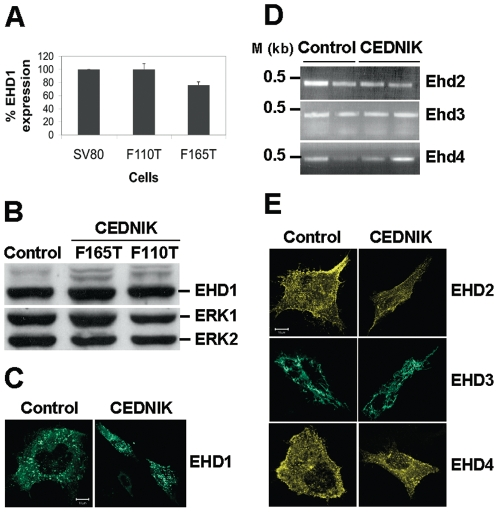 Expression of EHDs in CEDNIK fibroblasts. (A) <t>RNA</t> was isolated from control (SV80) and CEDNIK (F110T and F165T) fibroblasts and was subjected to Ehd1 specific quantitative real-time <t>PCR</t> (qRT-PCR). Expression level of Ehd1 in SV80 was defined as 100%. (B) Protein lysates prepared from CEDNIK (F165T, F110T) and control (SV80) fibroblasts were subjected to Western blot analysis and interacted with anti-EHD1 and anti-ERK antibodies, as a loading control. (C) Fibroblasts (SV80 and F110T) were transfected with GFP-EHD1, fixed and visualized by confocal microscopy. (D) RNA was isolated from SV80 and CEDNIK fibroblasts and subjected to Ehd2, Ehd3 or Ehd4 specific RT-PCR as detailed under Materials and Methods . (E) Control (SV80) and CEDNIK (F110T) fibroblasts were transfected with YFP-EHD2, GFP-EHD3 and YFP-EHD4 expressing plasmids for 18 h, after which they were fixed and visualized by confocal microscopy. No change in EHD1 RNA level, protein level or localization was observed in CEDNIK cells, compared to control cells. Also, no change in the intracellular localization or RNA levels of other EHDs was observed in CEDNIK cells. M- 1 kb marker. Bar,10 µm.