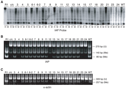 Genomic methylation assay for IAP LTR and α-actin sequences. (A) Southern blots of total DNA extracted from wild-type (R1), Dnmt1 c/c (c/c), Dnmt1 c/c cells expressing DNMT1 RFM mutants and Dnmt1 c/c cells expressing wild-type DNMT1 (WT). Genomic DNA was digested with the methylation-sensitive enzyme Hpa II (H) and its methylation-insensitive isoschizomer, Msp I (M) and hybridized on a Southern blot with an IAP LTR probe. Hypomethylation of IAP LTR sequences in the Dnmt1 c/c cells is indicated by hybridization to low-molecular weight DNA (1.1-kb band) in the Hpa II digests. (B) Methylation analysis of IAP LTR by COBRA. (C) Methylation analysis of α-actin by COBRA. PCR amplification products represent unmethylated (U) genomic DNA sequences and their digested products represent methylated (M) genomic sequences; sizes are indicated.