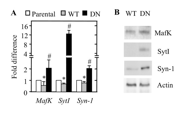 Analyses of MafK , SytI , and Syn-1 mRNA levels in parental, WT-Akt-expressing, and DN-Akt-expressing PC12 cells . (A) Quantitative RT-PCR. mRNA level of the gene in each group of cells was normalized to the level of GAPDH mRNA and the transcript level of each gene in PC12 (WT-Akt) and PC12 (DN-Akt) cells is presented as a fold change from that of the PC12 (parental) cells. Parental, PC12 (parental) cells. * P