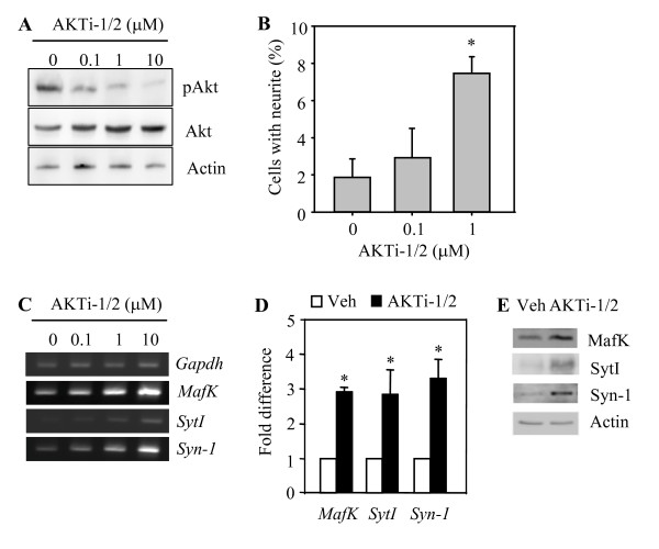 Effect of the Akt inhibitor AKTi-1/2 on mRNA levels for the MafK , SytI , and Syn-1 genes . (A) Western blot analysis of pAkt(Ser-473) protein level in PC12 (WT-Akt) cells treated with various concentrations of AKTi-1/2 prior to 10 min treatment with NGF. (B) The percentage of neuritogenic PC12 (WT-Akt) cells treated with or without AKTi-1/2. Averages and standard deviations are derived from more than six fields of view. * P
