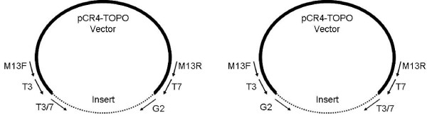 Recombinant vector with primer sites and alternate insert orientations . For sequencing, the products generated by TVL-PCR must be cloned into the TOPO vector. Two possible insert orientations are possible, as shown. M13F or M13R primers must be used for sequencing because they provide unique priming sites in the recombinant plasmid. The T3 or T7 primers are unsuitable for sequencing because they are represented in both the vector and the insert.