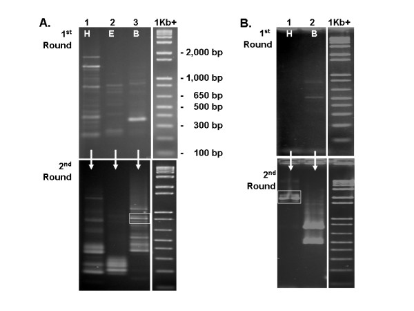 Extension of sequence from clone 143-2-1 in the 5' (A) and 3' (B) directions . First round TVL-PCR products (top) were generated from templates prepared using Hin dIII (H), Eco RI (E), or Bam HI (B) digestion of genomic DNA. First round products were used as templates to generate second round products (bottom). Boxes (bottom gels) indicate the locations of the second round TVL-PCR products that proved to be the desired products.