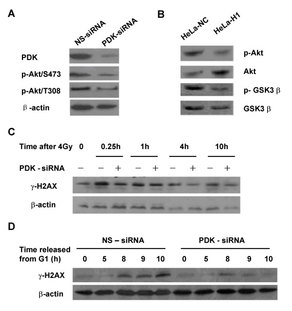 Regulation of phosphoinositide-dependent kinase (PDK) on the phosphorylation of H2AX . A: RNAi mediated depletion of PDK protein. HeLa cells were transfected with 50 nM PDK specific siRNA molecules or non-specific (ns) control siRNA. Western blotting shows PDK expression. B: Phosphorylation of Akt at Ser473 and GSK3β at Ser9 was decreased in the DNA-PKcs depleted HeLa-H1 cells compared to control HeLa-NC cells. C: PDK regulates the phosphorylation of H2AX in response to DNA damage induced by 4 Gy of γ-irradiation. After 48 h incubation with 50 nM PDK-specific siRNA or non-specific (ns) control siRNA, cells were irradiated with 4 Gy γ rays, then harvested 0, 0.5, 1, 4, 10 h post-irradiation and analyzed by Western blotting. D: PDK regulates the phosphorylation of H2AX associated with cell cycle progression. After 24 h incubation with 50 nM PDK-specific siRNA or non-specific (ns) control siRNA, cells were synchronized in G1 phase by TdR double-blocking, then released and harvested after 5 h, for S-phase, and at 8, 9, and 10 h, for G2/M phase. The culture medium was supplemented with 50 nM siRNA molecules during the period of synchronization and cell cycle progression. Protein expression was assayed by Western blotting.