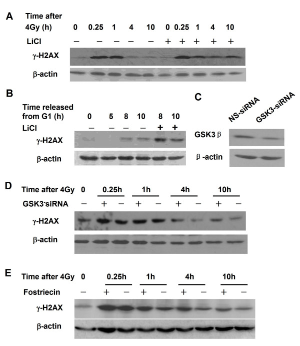 Regulation of H2AX phosphorylation in response to DNA damage and cell cycle progression by <t>GSK3β</t> . A: The GSK3β inhibitor LiCl prolongs phosphorylated H2AX increase in response to 4 Gy irradiation. HeLa cells were pretreated with 40 μM LiCl for 2 h, irradiated with 4 Gy γ rays and harvested at 0, 0.5, 1, 4 and 10 h after irradiation. Protein expression was assayed by Western blotting. B: GSK3β inhibitor LiCl enhanced the phosphorylation of H2AX in G2/M phase cells. To release the cells from G1 block and inhibit GSK3β activity, synchronized HeLa cells were grown in DMEM medium supplemented with 40 μM LiCl. S-phase cells were harvested at 5 h and G2/M phase cells at 8, 9 and10 h after released. Protein expression was assayed by Western blotting. C: RNAi depletion of GSK3β. HeLa cells were transfected with 50 nM GSK3β siRNA or non-specific (ns) control siRNA molecules. GSK3β expression was determined by Western blotting. D: Effect of GSK3β depletion on the phosphorylation of H2AX induced by 4 Gy γ-irradiation. After 48 h incubation with 50 nM GSK3β-specific siRNA or control non-specific (ns), cells were irradiated with 4 Gy γ rays, and harvested at 0, 0.25, 1, 4 and 10 h post-irradiation. Protein expression was assayed by Western blotting. E: Effect of the PP2A inhibitor fostriecin on H2AX phosphorylation. HeLa cells were pretreated with 50 nM fostriecin for 2 h, and then irradiated with 4 Gy γ rays, and harvested at 0, 0.25, 1, 4 and 10 h post-irradiation. Protein expression was assayed by Western blotting.