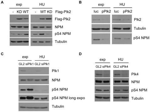 NPM/B23 serine 4 phosphorylation in S-phase is mediated by Plk2. A Flag-Plk2 WT, KD or Flag-alone were overexpressed in 293T cells. 8 h after transfections cells were arrested with 4 mM hydroxyurea (HU) for 40 h. Exponentially growing cells were harvested 48 h after transfections. Cell extracts were analyzed by SDS-PAGE and Western blot using anti-Flag, anti-NPM/B23, anti-pS4 NPM/B23 and anti-α-Tubulin (loading control) antibodies. B RNAi of Plk2 was mediated by overexpression of pSuper-RNAi-Plk2 and pSuper-RNAi-Luciferase as control in 293T cells. Cell cycle synchronization and analyses were carried out as in (A). To detect Plk2 downregulation in Western blot, membranes were probed with anti-Plk2 antibodies. C RNAi of Plk1 in HeLa cells was mediated by Lipofectamine2000-transfections of Plk1 specific siRNAs. GL2 siRNAs were used as control. Cell extracts were analyzed by Western blotting with the indicated antibodies. Loading control, α-Tubulin. D Plk4 was downregulated in U2OS cells by Lipofectamine2000 mediated siRNA transfections, as control GL2 was used. S-phase arrest was achieved as described in (A). Downregulation of Plk4 and pS4 NPM/B23 levels were examined by Western blot analysis with the indicated antibodies. Loading control, α-Tubulin.