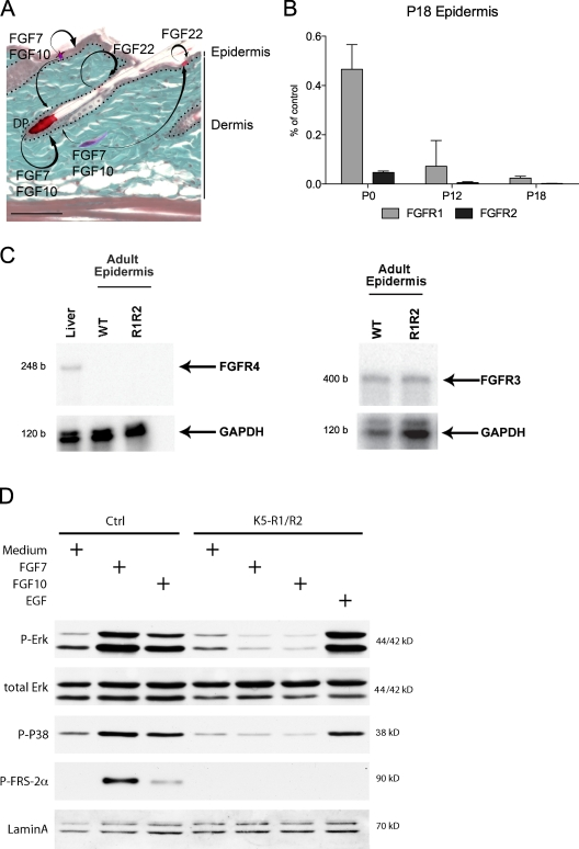 Expression and activation of FGFR1IIIb and FGFR2IIIb in the skin of control and K5-R1/R2 mice. (A) The expression pattern of FGF7, FGF10, and FGF22 in the skin is shown schematically. FGF7 and FGF10 are expressed by fibroblasts of the dermis and the dermal papilla (DP) of the hair follicles and by epidermal γδ T cells. FGF22 is expressed by keratinocytes. These FGFs activate FGFR1IIIb and FGFR2IIIb on keratinocytes. Bar, 50 µm. (B) RNA from P0, P12, and P18 back skin epidermis of control and K5-R1/R2 mice was analyzed by real-time RT-PCR for the levels of Fgfr1 and Fgfr2 mRNAs. Error bars indicate mean ± SD. n = 3 K5-R1/R2 mice and 2 control mice at P0, n = 5 mice per genotype for P12 and P18. Glyceraldehyde 3-phosphate dehydrogenase ( Gapdh ) mRNA was used for normalization. Data are indicated as the percentage of control. (C) RNA was isolated from the epidermis of adult K5-R1/R2 mice and age-matched control mice. RNA from mouse liver was used as a positive control for FGFR4. Samples of 20 µg of RNA were analyzed by an RNase protection assay for expression of FGFR3, FGFR4, or GAPDH. b, bases. (D) Primary keratinocytes from control and K5-R1/R2 mice were grown to confluency, serum-starved, and treated for 10 min with FGF7, FGF10, EGF, or medium without growth factors (medium). Lysates were analyzed by Western blotting using antibodies against total and phosphorylated signaling proteins or lamin A (loading control).