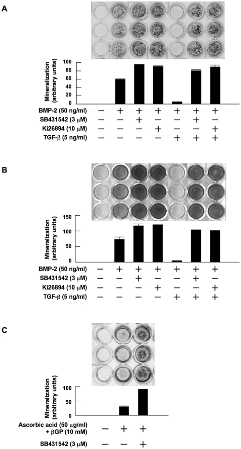 TGF-β suppresses and TGF-β inhibitors enhance OB differentiation. MC3T3-E1 cells ( A ) and primary bone marrow stromal cells ( B ) were cultured for 14 and 28 days, respectively, in 24-well culture plates in α-MEM containing 10% FBS supplemented with β-glycerophosphate and ascorbic acid (osteogenic medium). rhBMP-2, SB431542, Ki26894 and rhTGF-β were added at 50 ng/mL, 3 µM, 10 µM and 5 ng/mL to the indicated wells, respectively. After culturing, mineralized nodules were visualized by von Kossa staining. C. MC3T3-E1 cells were cultured for 21 days in osteogenic media in the absence of BMP-2. SB431542 was added at 3 µM to the indicated wells. Mineralized nodules were visualized by von Kossa staining. The data with mineralized nodule formation were quantified by densitometric analyses.