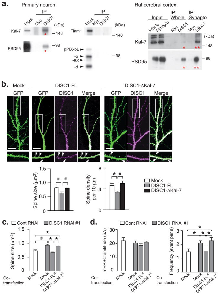 Protein interaction of DISC1/Kal-7 regulates spine morphology in rat primary cortical neurons ( a ) Endogenous interactions of DISC1 with Kal-7 and PSD95 (red asterisks) by co-immunoprecipitation (IP) from primary cortical neurons and rat cerebral cortex. DISC1 did not bind Tiam1 norβPIX. Strong interactions of DISC1/Kal-7 and DISC1/PSD95 are observed in the synaptosomal fractions (double asterisks). Full-length blots are presented in Supplementary Fig. 17 . ( b ) Spine shrinkage and reduced spine density by overexpression (for 2 days) of full length DISC1 (DISC-FL), but not by DISC1 lacking Kal-7 interaction (DISC1-ΔKal-7). Both DISC1-FL and DISC1-ΔKal-7 were localized in the dendritic spine (arrowheads). ( c ) Normalization of DISC1 knockdown-induced spine enlargement by DISC1-FL, but not by DISC1-ΔKal-7. ( d ) Increase in the frequency of mEPSC was normalized by the overexpression of DISC1-FL R , but not by that of DISC1-ΔKal-7 R . Left, representative mEPSC traces; right, mEPSC amplitude and frequency. Bar, s.e.m. * P