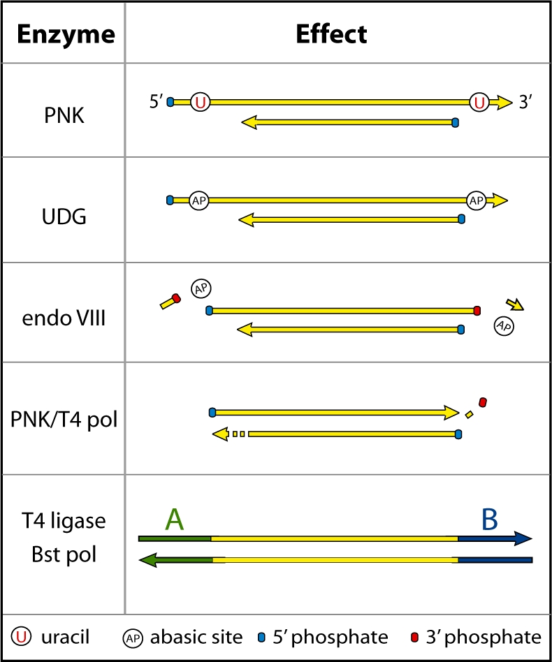 Predicted activity of UDG and endoVIII in 454 library preparation of ancient DNA. T4 PNK phosphorylates 5′-ends leaving 5′-phosphate groups. UDG removes uracils, which are concentrated in short 5′- and 3′-overhangs in ancient DNA, leaving abasic sites. EndoVIII then cleaves on both sides of the abasic sites, leaving 5′- and 3′-phosphate groups. T4 polymerase fills in remaining 5′-overhangs and chews back 3′-overhangs, possibly aided by the 3′-phosphatase activity of PNK. Blunt-end ligation and fill-in of sequencing adaptors can then take place.