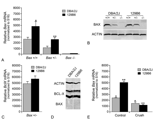 DBA/2J and 129B6 mice differentially express Bax ( A ) Quantitative PCR analysis of latent Bax transcript levels (means±SEM) in 129B6 and DBA/2J mice. Values shown are the number of Bax mRNA molecules [per 2.5 pg of poly(A) RNA input] normalized to the number of S16 molecules in each sample. Reducing Bax gene dosage to one gene caused a 50% reduction of Bax transcripts (for 129B6, P = 0.004, for DBA/2J, P = 0.002, control retinas of Bax +/− mice compared with control retinas of Bax +/+ mice) and no transcripts were detected in knock-out mice. Similarly, 129B6 mice had approximately twice the amount of Bax mRNA in the retina (*129B6 Bax +/+ compared with DBA/2J Bax +/+ mice, P = 0.008; **129B6 Bax +/− compared with DBA/2J Bax +/− mice, P = 0.002). ( B ) Representative immunoblot showing relative Bax protein levels in DBA/2J and 129B6 neurons. Bax protein levels were 1.2- to 1.8-fold higher in 129B6 Bax+/+ mice compared with DBA/2J Bax +/+ mice (when normalized to actin in each lane). Similarly, 129B6 Bax +/− mice expressed 1.4- to 2.0-fold as much Bax as DBA/2J Bax +/− mice. No Bax protein was detected in Bax −/− mice. ( C ) Histogram of BclX transcript levels in the retinas of Bax heterozygous mice from each strain. Unlike Bax mRNA, no difference in BclX mRNA was detected between strains ( P = 0.26), or between wild-type and knockout mice (data not shown). ( D ) Blot strips taken from the same lanes of retina homogenates of wild-type DBA/2J or 129B6 mice. To accurately assess the relative levels of BAX and BCL-X, the strips were developed equally, until BCL-X staining began to saturate the colorimetric reaction. BCL-X shows up as two prominent bands, probably reflecting modified and deamidated polypeptides ( Johnstone, 2002 ). BAX levels, under these conditions, are just detectable. Chemiluminescence detection of BAX staining clearly shows, however, that this antibody specifically interacted with BAX protein in similar samples (see B ). Actin was also evaluated as a