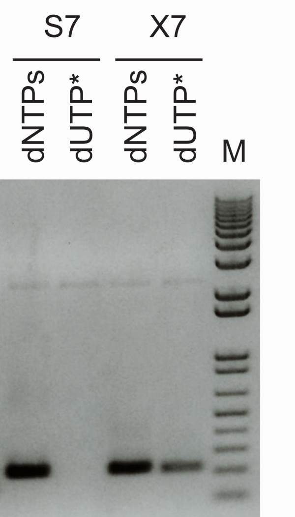 PfuX7 accepts <t>dUTP</t> in place of dTTP in PCR . Agarose gel electrophoresis of PCRs performed with the Phusion (S7) or the PfuX7 (×7) DNA polymerases and either standard <t>dNTPs</t> or with a dUTP/dNTP mix where dUTP replaces dTTP. The molecular marker (M) is kb+ (Invitrogen).