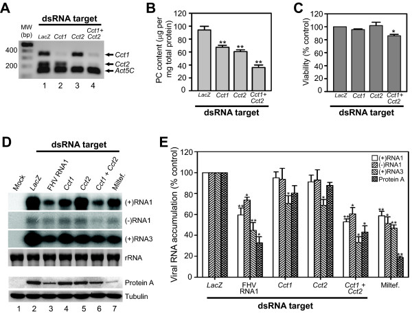 Verification of Cct1 and Cct2 roles in modulating FHV replication in infected S2 cells . (A) RT-PCR validation of Cct1 or Cct2 RNAi-mediated knockdown. Drosophila S2 cells were treated with dsRNAs specific for LacZ (lane 1), Cct1 (lane 2), Cct2 (lane 3), or both Cct1 and Cct2 (lane 4) for 72 h, and gene-specific mRNA expression was examined by semi-quantitative RT-PCR as described in Fig. 2, except that only results from cDNA dilutions that produced submaximal signals are shown. (B) Total PC content in cells treated with the dsRNAs described above. PC levels were determined as in Fig. 3. (C) Viability of cells treated with dsRNAs described above determined by MTT assay. (D) FHV RNA accumulation in infected S2 cells after RNAi-mediated knockdown of Cct1 , Cct2 , or both. Mock-infected cells (lane 1), cells treated with the indicated dsRNA as described above or FHV RNA1 as a positive control (lanes 2-6), or treated with 50 μM miltefosine (lane 7), were infected with FHV and viral-specific RNAs or protein were analyzed by northern blotting or immunoblotting 12 h after infection, respectively. For viral RNA analysis, blots for positive-sense (+) and negative-sense (-) genomic RNA1 and subgenomic (+)RNA3 are shown. The decrease in (+)RNA1 accumulation in Cct1 knockdown cells (lane 4) was not consistently seen in all experiments. Ribosomal RNA (rRNA) bands detected by ethidium bromide staining are shown as loading controls. For protein analysis, blots for FHV protein A and the cellular loading control tubulin are shown. (E) Quantitative data for genomic (+)RNA1 and (-)RNA1, subgenomic (+)RNA3, and protein A accumulation in S2 cells treated with the indicated dsRNA or miltefosine after infection with FHV. Results are expressed as percentage of accumulation relative to LacZ dsRNA-treated control. P -value