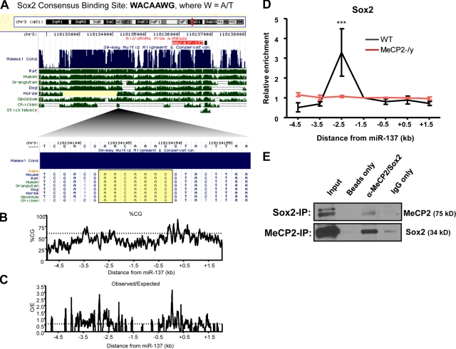 Transcriptional regulation of miR-137 involves coregulation by Sox2. (A) Schematic showing the miR-137 genomic locus and the location of a conserved Sox2 consensus-binding site within the 2.5-kb upstream region of miR-137 with which MeCP2 was also found to interact by ChIP. (B and C) Genomic structure and CpG content surrounding the miR-137 genomic locus. (B) Percentage of CG content across a 7-kb region surrounding miR-137, with a threshold indicated at 60%. (C) Ratio of observed CpG dinucleotides to the number of CpGs expected with a normal distribution across the same 7-kb region surrounding miR-137. A threshold is indicated at a ratio of 0.6 (dotted line). Data for both plots were generated using EMBOSS CpG plot with a 100-nt window size and a 1-nt window shift increment ( Larsen et al., 1992 ). (D) Sequences 2.5 kb upstream of miR-137 enriched in a Sox2-specific ChIP relative to IgG only in WT aNSCs but not MeCP2-/y aNSCs, normalized to the directly adjacent 1.5-kb upstream region ( n = 3, error bars indicate mean ± SEM, two-way ANOVA, Bonferroni post-test; ***, P