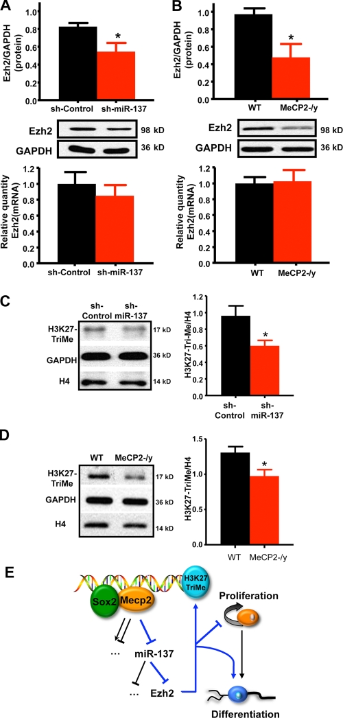 Overexpression of miR-137 suppresses the expression of Ezh2 post-transcriptionally and results in an overall reduction in H3K27-TriMe. (A) Overexpression of miR-137 in WT aNSCs led to the reduction of endogenous Ezh2 protein expression (top, n = 4; *, P = 0.0366) without a proportional reduction in Ezh2 mRNA (bottom, n = 3, error bars indicate the mean with a 95% CI). (B) Loss of MeCP2 in aNSCs led to a similar reduction in endogenous Ezh2 protein expression (top, n = 4; *, P = 0.0417) without a proportional reduction in Ezh2 mRNA (bottom, n = 3, error bars indicate the mean with a 95% CI). (C) Overexpression miR-137 resulted in a reduction in H3K27-TriMe relative to histone H4 (*, P = 0.0379; n ≥ 3, unpaired t test). (D) H3K27-TriMe is also reduced relative to histone H4 in MeCP2-/y aNSCs (*, P = 0.0367; n ≥ 3, unpaired t test). (E) Model for the cross talk between MeCP2, miR-137, and Ezh2 in modulating adult neurogenesis. MeCP2 along with Sox2 mediates the epigenetic regulation of miR-137 in aNSCs, where increased expression of miR-137 promotes aNSC proliferation and inhibits aNSC differentiation, whereas decreased expression of miR-137 promotes differentiation of aNSCs. One target gene involved in this process is Ezh2. The miR-137–mediated suppression of Ezh2 feeds back to chromatin by decreasing global H3K27-TriMe. Error bars indicate mean ± SEM.