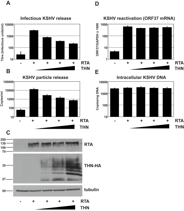 Over-expression of human tetherin restricts KSHV particle release. HeLa KSHV cells were transfected with an expression vector encoding the KSHV early transcriptional activator RTA and increasing doses of pCR3.1 encoding human tetherin. Plasmid dose was kept constant using pcDNA3.1. 48 hours after transfection supernatants were harvested, filtered and used to infect 293T cells ( A ) and infectious virus titer determined by GFP expression in the target cells by flow cytometry. Values are presented as infectious units/ml. ( B ) Parallel supernatants were treated for 2 hours with DNase-I and viral genomic DNA isolated and supernatant genome copy number enumerated by quantitative Taqman PCR specific for ORF37. Values are presented as copies/ml. ( C ) Western blot analysis for RTA protein (top panel) performed on r219-HeLa cells after virus collection indicates that RTA expression levels were equivalent in each sample. Blots were stripped and detection of tetherin using an anti-HA antibody performed (middle panel) shows increasing tetherin levels across samples, as expected. Alpha tubulin was detected concomitantly to RTA to demonstrate equal loading (bottom panel). ( D ) KSHV reactivation was equivalent in all samples as evidenced by measurement of ORF37 mRNA levels by quantitative Taqman PCR and after normalization to GAPDH levels. ( E ) KSHV genome levels remained constant in all samples as evidenced by equivalent numbers of intracellular KSHV episomes per nanogram of total cellular DNA. Results are the mean of 2 independent experiments and errors are standard error of the mean.