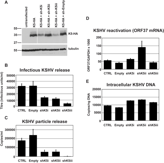 RNAi-depletion of K5 during lytic replication suppresses KSHV particle release. ( A ) Three shRNA hairpins were designed to target K5 and co-expressed with K5-HA in 293T cells. The efficiency of reduction of K5 expression was assessed 48 hours later by western blot of total cell lysates detecting the HA tag. Stripped blots were re-probed for alpha tubulin to demonstrate equal loading. ( B C ) r219-HeLa cells were transduced by lentiviral vectors encoding K5 shRNAs at an MOI of 5, reseeded 72 hours later and transfected with RTA expression plasmid the following day. Supernatants were harvested 48 hours post-RTA transfection and KSHV titer expressed as infectious unit/ml ( B ) and DNase-I resistant genome copies/ml ( C ) were determined as in Figure 1 . At the time of harvest (48 hours post RTA transfection), ORF37 and GAPDH mRNA were measured in the cell lysates by Taqman Q-RT-PCR to assess effect of the hairpins on KSHV reactivation and ORF37 expression ( D ). At the time of harvest, cells were also kept to assess the effect of the hairpins on genome replication. Cellular DNA was extracted and KSHV episomes measured by QPCR for ORF37 ( E ). Results are expressed as KSHV genomes per nanogram of total cellular DNA. Results are the mean of 2 independent experiments and errors are standard error of the mean.