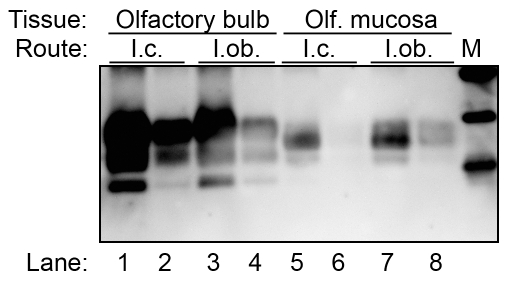 Western blot for PrP Sc in olfactory bulb and olfactory mucosa following HY TME infection of hamsters. Olfactory bulb (lanes 1 to 4) and olfactory mucosa (lanes 5 to 8) lysates from clinical HY TME hamsters following intracerebral (lanes 1, 2, 5 and 6) and intra-olfactory bulb (lanes 3, 4, 7, and 8) inoculation were enriched for PrP Sc by detergent extraction, ultracentrifugation, and proteinase K digestion. Western blot for prion protein was performed as described in Figure 1 . Marker (M) polypeptides correspond to 20, 30, and 40 kDa.