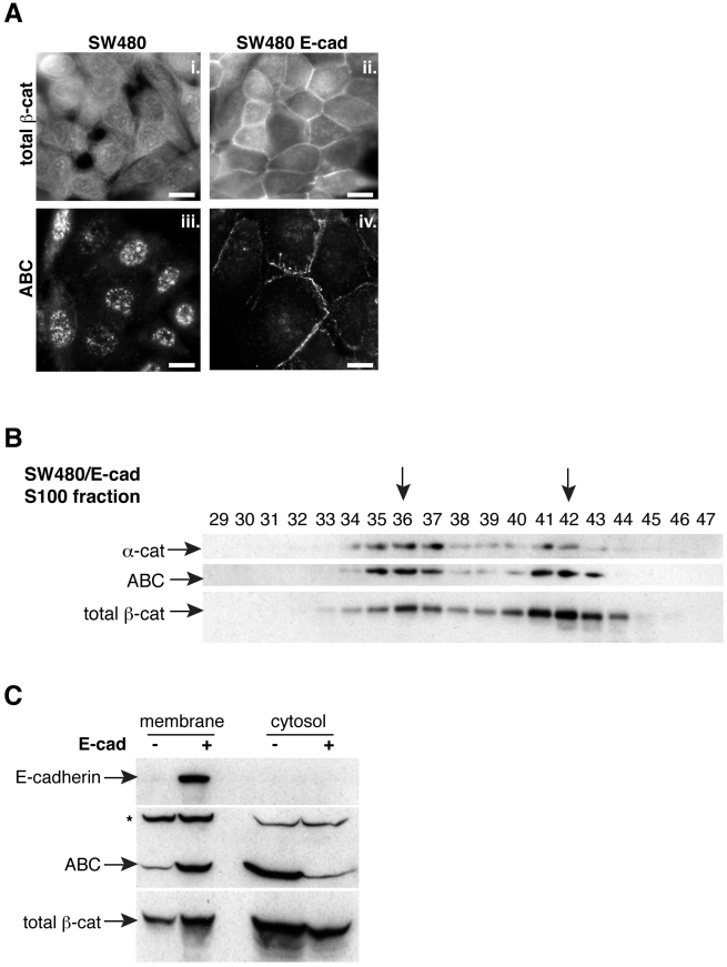 N-terminally unphosphorylated β-catenin appears highly sensitive to cadherin expression. A) Control (i. and iii.) and E-cadherin-restored SW480 cells (ii. and iv.) were stained with antibodies against total β-catenin or ABC. Note that ABC appears selectively recruited to sites of cell-cell contact upon cadherin expression relative to the total pool of β-catenin. B) A detergent-free cytosolic fraction from SW480/E-cadherin cells was subjected to gel filtration chromatography. Peak fractions are marked with arrows. The presence of E-cadherin reduces the abundance of monomeric ABC relative to control cells (compare to Fig. 2A ). C) Detergent-free preparations of membrane and cytosolic fractions isolated from control and E-cadherin-restored SW480 cells. Note that E-cadherin appears to selectively recruit ABC to the membrane, leaving a portion of total β-catenin in the cytosol. A non-specific band (*) recognized by ABC [47] serves as a loading control. Bars, 10 µm.
