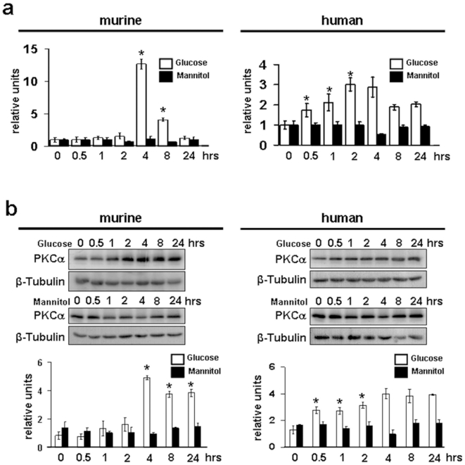 PKCα expression is upregulated by high glucose in murine and human podocytes. Quantitative PCR (a) and Western blot analysis (b) for PKCα in murine and human podocytes depicts induction of protein in a time course experiment after stimulation with high glucose (30 mM) and mannitol as osmotic control for up to 24 hrs (results are representative for 3 independent experiments). Scale bars of quantitative PCR summarizes means of high glucose (white bars) and Mannitol (black bars) of n = 3 independent experiments. (*p