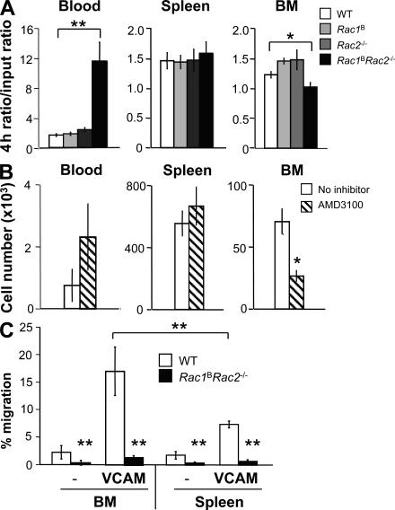 Accumulation of Rac-deficient immature B cells in the blood may be caused by defective CXCR4 signaling. (A) Splenic T0 B cells from mice of the indicated genotypes (IgM b Ly5.2 + ) mixed with splenic T0 B cells from 129S8 (IgM a Ly5.2 + ) mice were injected into B6.SJL (IgM b Ly5.1 + ) mice. Graph shows the mean (±SEM) IgM b Ly5.2 + to IgM a Ly5.2 + ratio of B cells in the blood, spleen, and bone marrow 4 h after transfer, normalized to the input ratio ( n = 5–17). (B) Mean (±SEM) number of IgM b+ cells recovered from the blood, spleen, and bone marrow of B6.SJL mice into which WT splenic T0 B cells had been transferred 4 h earlier in the absence or presence of the CXCR4 inhibitor AMD3100 ( n = 4). (C) Mean (±SEM) migration of immature bone marrow or splenic T0 cells from mice of the indicated genotypes in a Transwell assay in response to CXCL12. Wells were coated or not (−) with VCAM-1 ( n = 6). *, P