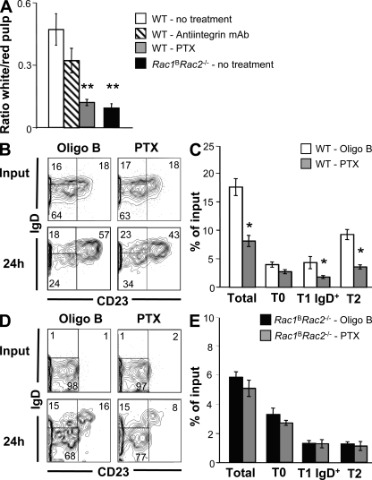 Pertussis toxin blocks entry of T0 splenic B cells into the white pulp, as well as their survival. (A) Mean (±SEM) ratio of transferred IgM b+ T0 B cells ending up in white relative to red splenic pulp at 24 h after transfers, as described in Fig. 4 (A–C) . Transferred T0 cells were from WT or Rac1 B Rac2 −/− mice. In some transfers of WT T0 B cells, the mice were pretreated with anti–LFA-1 and anti-α4 blocking antibodies (antiintegrin mAb), or the cells were treated with pertussis toxin ( n = 4–6). (B and D) Contour plots show expression of IgD and CD23 on B220 + IgM b+ splenocytes from 129S8 (IgM a+ ) mice into which (B) WT or (D) Rac1 B Rac2 −/− (T0 B cells (both IgM b+ ) had been transferred 24 h earlier and had been either pretreated with pertussis toxin or an oligomer of the B subunit of pertussis toxin (Oligo B). Oligo B controlled for any effects of pertussis toxin independent of the ADP-ribosylation activity of the A subunit, which inactivates Gαi-coupled GPCRs. Staining of input cells before transfer is shown for comparison. Numbers indicate percentages of cells falling into quadrants. (C and E) Graphs show the mean (±SEM) percent recovery of transitional B cells in the spleens of 129S8 mice 24 h after transfer of WT (C; n = 4–5) or Rac1 B Rac2 −/− (E; n = 6–7) T0 B cells pretreated with Oligo B or pertussis toxin. Recovery of total transitional cells is shown as well as subdivision of these into T0, T1 IgD + , and T2 cells. *, P