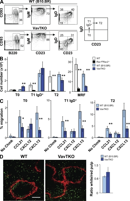 Vav family proteins are not required for entry into splenic white pulp. (A) Contour plots of splenocytes from either WT (B10.BR) or Vav1 −/− Vav2 −/− Vav3 −/− (VavTKO) mice showing separation of B220 + cells into immature (CD93 + ) and mature (CD93 − ) B cells. Note that the VavTKO mice are on a B10.BR background and are therefore compared with WT B10.BR mice. The immature cells were further gated on IgM + cells and separated according to the expression of IgD and CD23 into T0 (IgD − CD23 − ), T1 IgD + (IgD + CD23 − ), and T2 (IgD + CD23 + ) subsets. Mature (CD93 − ) cells were separated according to expression of IgM and CD23 into MRF (IgM +/− CD23 + ) and MZ (IgM + CD23 − ) subsets (not depicted). Numbers show percentages of cells falling into gates or quadrants. (B) Mean (±SEM) number of splenic T0, T1 IgD + , T2, and MRF B cells in WT ( n = 5), Rac1 B Rac2 −/− ( n = 7), B10.BR, and VavTKO mice ( n = 7). (C) Mean (±SEM) migration in a Transwell assay of T0, T1 IgD + , and T2 splenic B cells from WT (B10.BR) or VavTKO mice in response to the indicated chemokines ( n = 6). (D) Images showing immunofluorescence staining of sections from spleens of mice into which WT (B10.BR) or VavTKO (IgM b ) T0 B cells had been transferred 24 h earlier. Staining for IgM b (green) identifies transferred T0 B cells, and MadCAM-1 (red) defines the edges of the white pulp. Bar, 150 µm. The graph shows the mean (±SEM) ratio of transferred IgM b+ T0 B cells ending up in white relative to red splenic pulp 24 h after transfer ( n = 4). *, P