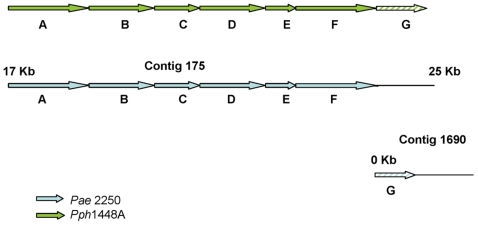 An E- Pae -encoded pathway for the utilization of sucrose. Shown is a cluster of genes in E-P ae which is implicated in the uptake and utilization of sucrose but which is not found in I- Pae . Details of the predicted genes based on blastp searches are shown in Table 5 . This gene cluster is homologous to a region of Pph 448A (96–98% nucleotide sequence identity). In E- Pae the six principal genes (A–F) are on a 7.4 kb section of a 32.1 kb contig (GenBank: ACXT01000147.1) whereas the transcriptional regulator (G) is found at the beginning of a 12 kb contig (GenBank: ACXT01000532.1); (the first 67 codons are missing from the start of the contig). Genes in E- Pae are indicated by the blue arrows; genes in Pph 1448A are represented by the green arrows.