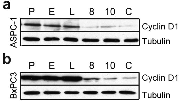 Cyclin D1 silencing ASPC-1 (a) and BxPC3 (b) cells that were either not infected (parental cells: P) or infected with the mock-infected lentivirus pll37 (M), or with pll37 containing sequences encoding luciferase (L), cyclin D1 specific shRNA 8 (8) or 10 (10), or their combination (K). Cell lysates, prepared 72 h after infection, were subjected to immunoblotting using anti-cyclin D1 antibodies. Membranes were re-probed with anti-tubulin antibody to assess equivalent lane loading.