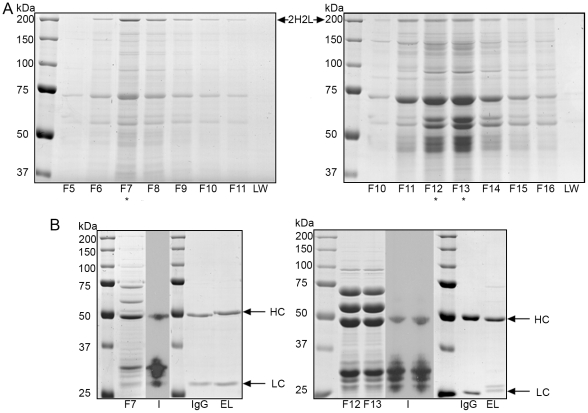 Large scale purification of bacterial IgG. (A) Non-reducing coomassie gel of peak fractions from Protein A HPLC purification of cell lysate. Left panel: 4G2 fractions 5 to 11 (F5 to F11). Right panel ET149 fractions 10 to 16 (F10 to F16). 30 µl of each fraction was run on the gel. A sample of the wash (LW) was run and shows no contaminants present indicating the column was sufficiently washed to remove non-binding proteins. Fully assembled IgGs (2H2L) are indicated. (B). Reducing coomassie gels (4G2-F7, ET149-F12 13) and adjacent immunoblots (I) showing representative fractions from each Protein A elution (indicated with * on panel A). 30 µl of each fraction was loaded for coomassie and 3.75 µl for immunoblot. Blots were probed with both anti-IgG Fc and anti-Kappa chain polyclonals showing that majority of protein bands in the fraction are neither IgG heavy chain nor light chain. A separate reducing coomassie gel shows 2 µg of bacterial IgG pooled eluate (EL) after Protein L purification showing successful removal of the contaminating proteins and degraded heavy chain fragments. The equivalent amount of mammalian cell culture-derived IgG (IgG) was loaded for comparison. Individual heavy (HC) and light (LC) chains are indicated although the light chain for ET149 appears as two separate species.