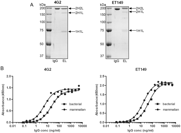 Comparison between bacterial and mammalian IgG. (A). Non-reducing SDS-PAGE of 2 µg of pooled bacterial IgG eluate after protein L purification (EL) and mammalian cell culture-derived IgG (IgG) indicates that the majority of purified IgG was fully assembled IgG (2H2L) although partially assembled IgG (2H1L, 1H1L) are also present. (B). Direct binding ELISA of serially diluted bacterial (-▪-)- and mammalian cell culture (-•-)-derived IgG against Dengue serotype-2 virus and epsilon toxin showing similar binding curves. Binding of antibody was detected using anti-Human IgG Fc-HRPO as the secondary antibody.