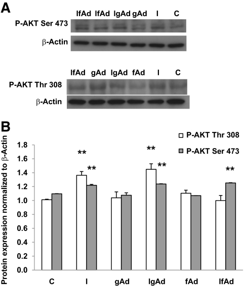 Representative Western blots ( A ) and summary data ( B ) of phospho-AKT Ser473 and phospho-AKT Thr308 protein expression after incubation of cultured trophoblast cells with control media, insulin (1 nmol/l), gAd (5 μg/ml), or fAd (5 μg/ml) for 24 h. Subsets of cells were pretreated with insulin (1 nmol/l) for 4 h and then exposed to 5 μg/ml gAd (IgAd) or fAd (IfAd) for an additional 20 h. n = 5 placentas for each treatment. Insulin significantly increased expression of both phospho-AKT Ser473 ( P