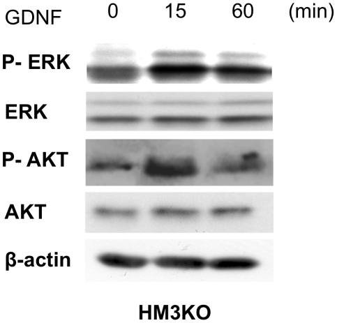 Signal transduction molecules potentially sited downstream of c-RET in HM3KO cells. Expression and phosphorylation levels of ERK and AKT in HM3KO cells before (0 min) and at 15 and 60 min after stimulation with GDNF (100 ng/ml) were examined by immunoblotting. Equality of protein amounts in each lane was confirmed by immunoblotting with anti-β-actin antibody.
