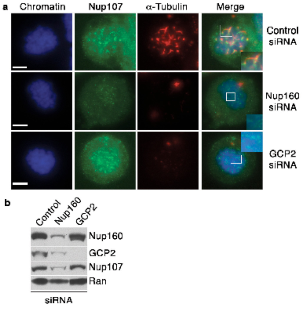 Nup107-160 is critical for MT nucleation at kinetochores in HeLa cells ( a ) HeLa cells transfected with a control siRNA (top panels), a siRNA against Nup160 (middle panels) or an siRNA directed against GCP2 (bottom panels). The cells were analyzed in a MT re-growth assay at 2 minutes after being returned to 37°C, with staining for α-tubulin (red) and Nup107 (green). Mitotic cells were identified by chromosome morphology through counterstaining with Hoechst 33342 dye (blue). Scale bar= 5 µm ( b ) Whole cell extracts were made from control HeLa cells (left), or cells depleted of Nup107-160 (center) or of GCP2 (right). The extracts were analyzed by Western blotting with the indicated antibodies to monitor the overall level of depletion through siRNAs. ). Uncropped images of the blots are shown in Supplementary Information, Fig. S3 .