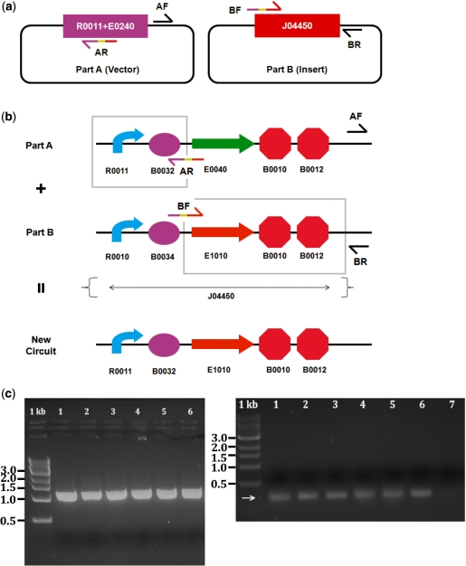 Part swapping: simultaneous promoter and RBS re-engineering. ( a ) R0011+E0240 and J04450 plasmids are shown with the forward and reverse primers for PCR. R0011+E0240 is amplified with the vector and J04450 is amplified as the insert. ( b ) Detailed schematic of the assembly strategy with the forward and reverse primers. Only the promoter (R0011) and RBS (B0032) are PCR-amplified from the R0011+E0240 plasmid. Only E1010 and B0010/12 are PCR-amplified from the J04450 circuit in order to change its promoter and RBS in one assembly step. ( c ) Since both plasmids used as template DNA in the PCR reaction were approximately the same size as the desired construct, two colony PCR reactions were performed on the same six colonies. The gel on the left shows six colonies amplified with VF2/VR primers and the gel on the right shows the same six colonies (#1–6) and negative control J04450 plasmid (#7) amplified with the VF2 and R0011+E0240 AR primer. Correct colonies show a PCR product of about 1.1 kb for the left gel and a PCR product of about 300 bp for the right gel (correct size indicated by arrow).