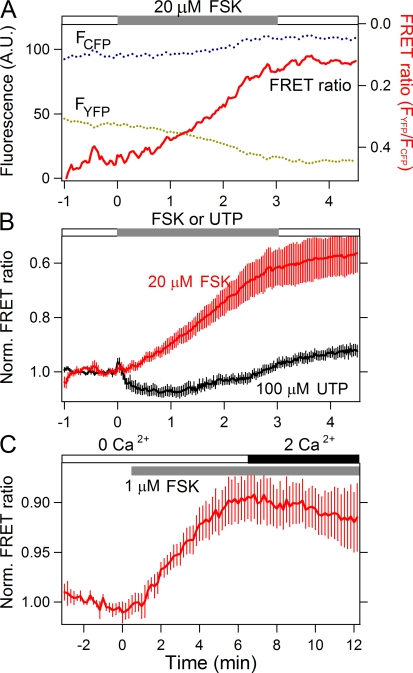 FSK evokes cAMP increase. Optical measurements of cAMP production in PDECs transfected with Epac1-camps, a FRET probe. (A) Time courses of YFP (dotted olive line) and CFP (dotted cyan line) fluorescence from a single cell treated with 20 μM FSK to stimulate adenylyl cyclase. When the FRET ratio (F YFP /F CFP ; red line, plotted on a reversed axis) decreases, cytoplasmic cAMP concentration increases. (B) Mean normalized (Norm.) FRET ratio with 20 μM FSK (red line, n = 6) or 100 μM UTP (black line, n = 9). The gray bar indicates the duration of treatment with FSK or UTP in normal control solution. (C) The effect of 1 μM FSK on cAMP production in cells exposed to a solution free of Ca 2+ (0 Ca 2+ , including 100 μM EGTA) in the presence 1 μM ionomycin for at least 5 min, and then treated with solution containing 2 mM Ca 2+ (2 Ca 2+ , black bar). In this measurement, we used 1 μM FSK as in the later experiments. n = 5.