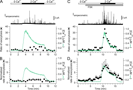 FSK potentiates Ca 2+ -evoked exocytosis. ( A and C ) Cells, loaded sequentially with dopamine for amperometry and then with indo-1 Ca 2+ -sensitive dye, were pretreated with 1 μM ionomycin in Ca 2+ -free solution (0 Ca 2+ ). All test solutions contained 1 μM ionomycin in a Ca 2+ -free solution. Increases of [Ca 2+ ] i and of exocytosis were induced by switching to 2 mM Ca 2+ (2 Ca 2+ ). Top traces are representative amperometric current recordings. The lower traces show optically measured [Ca 2+ ] i (green line) and the simultaneous rate of exocytosis (filled circles, number of spikes per 30 s) in the absence (A) or presence (C) of FSK. (B and D) Average time course of [Ca 2+ ] i (green line) and normalized rate of exocytosis (symbols) in the absence (B; n = 6) or presence (D; n = 12) of 1 μM FSK.