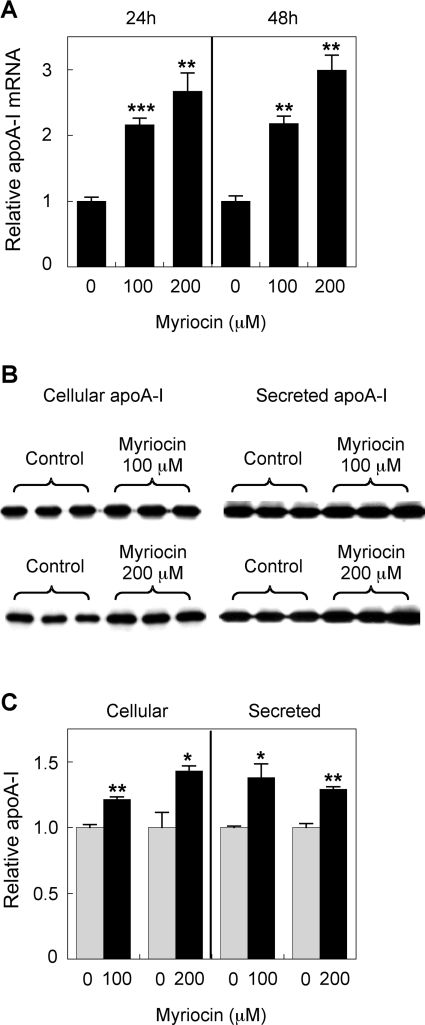 Myriocin up-regulates HepG2 cell apoA-I production (A) HepG2 cells were treated with 100 or 200 μM myriocin for 24 or 48 h, and mRNA expression was assessed by qPCR. (B and C) HepG2 cells were treated with 100 or 200 μM myriocin for 24 h. The cell medium was collected after 24 h, and apoA-I expression and secretion were analysed by Western blotting. Signal intensity of the apoA-I bands was quantified using Image-J software and the results are expressed relative to controls. Results are means±S.E.M. * P