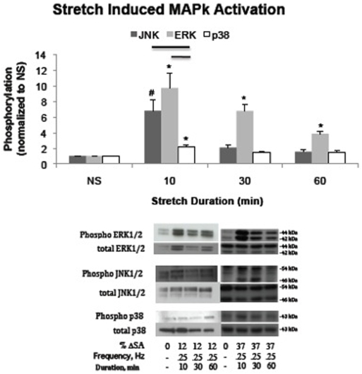 Stretch activation of MAPk signaling. Phosphorylation levels of JNK, ERK, and p38 MAPk following 10, 30, and 60 minutes of cyclic stretch at a rate of 0.25 Hz to a peak magnitude of 37% ΔSA normalized to unstretched controls. Phosphorylation levels of all MAPks significantly increased above unstretched levels (value of 1) following 10 minutes of stretch (*). Following 30 or 60 minutes of stretch, only ERK remained significantly elevated. JNK phosphorylation was significantly greater following 10 minutes than following 60 minutes (#). At the 10 minute time point, phosphorylation of JNK and ERK was significantly higher than phosphorylation of p38. Significance is defined as p