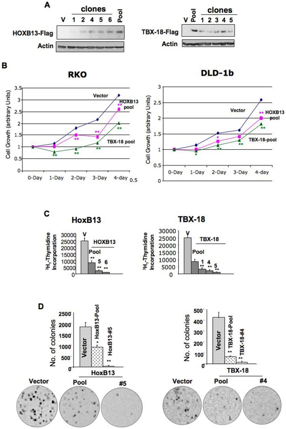 HOXB13 and TBX18 demonstrate anti-tumorignic property in colon cancer cells in vitro. A. Western blot analysis of cell extracts prepared from RKO cells expressing Flag-tagged HOXB13 or TBX18. Analysis of cell growth by MTT assay ( B ), replication potential by 3 H 1 -thymidine incorporation ( C ), clonogenic survival ( D ) of RKO cells (pool and a clone selected at random). Each assay was performed in triplicate. Single and double asterisks denote p values ≤0.05 and ≤0.01, respectively.
